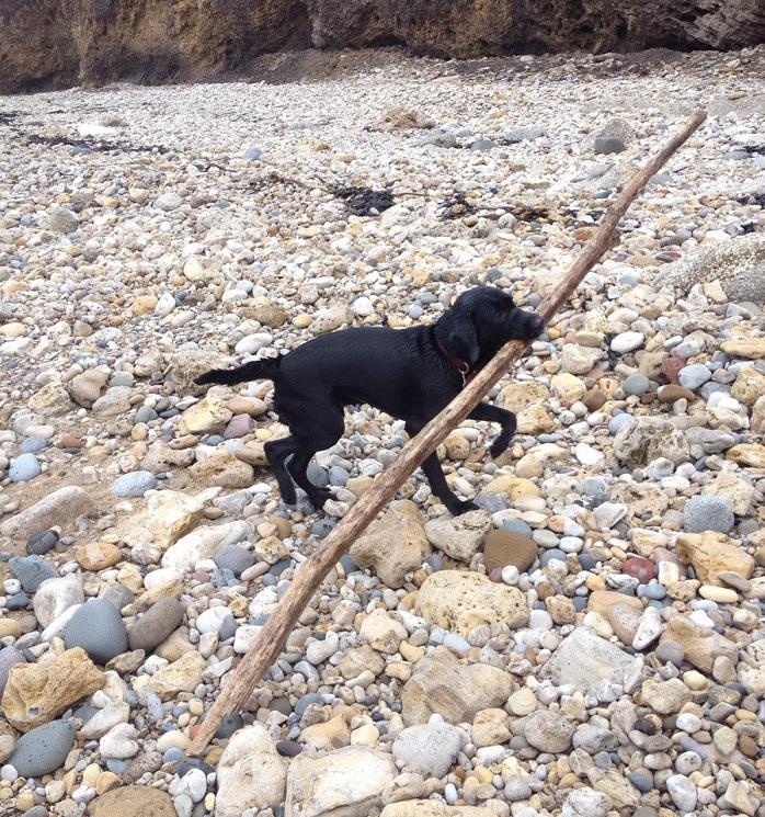 Labrador with Big Stick