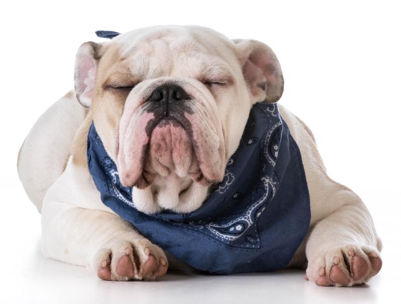 bulldog bandana