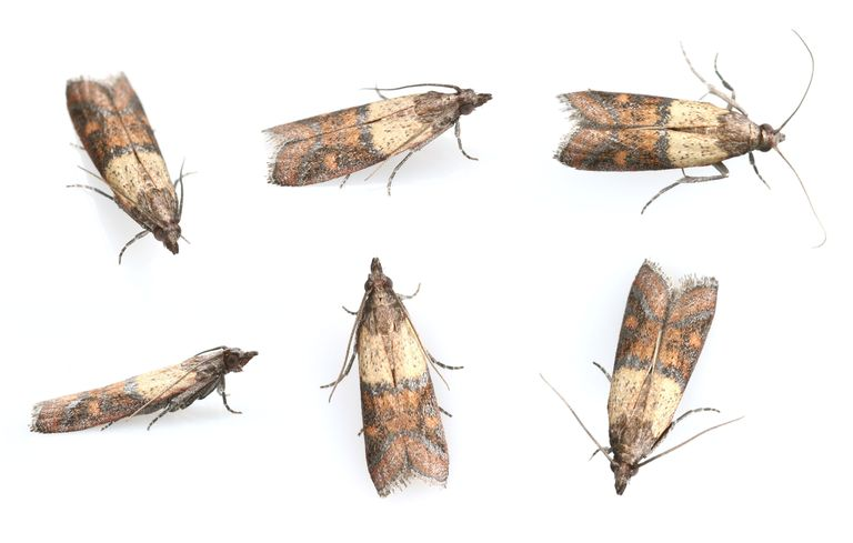 Pantry Moths