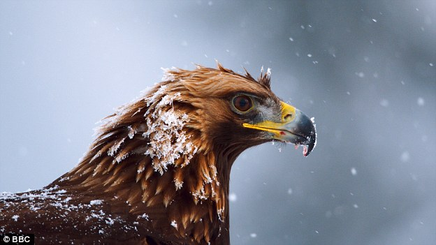 Golden Eagle Planet Earth